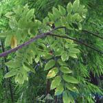 무환자나무
