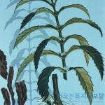 모엽지과아묘(毛葉地瓜兒苗)